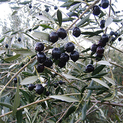 Ripe Olives on the Vine